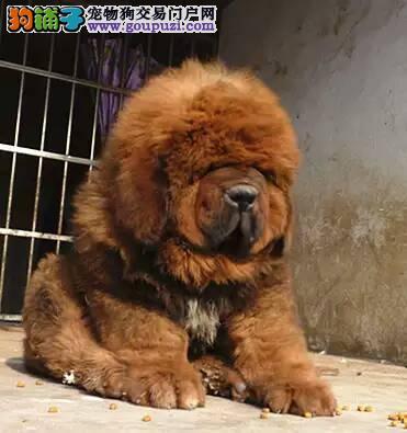 纯种狮头系长毛藏獒低价出售了 铁包金狮头红獒雪獒