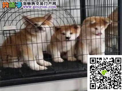 冠军级血统秋田犬 国外登陆冠军级后代 国际证书芯片