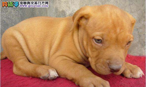 出售多种颜色西安纯种比特犬幼犬以品质惊世人