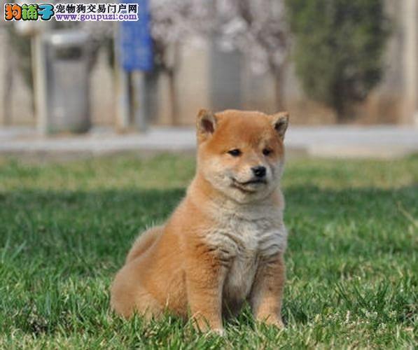 公母均有的大连柴犬找爸爸妈妈微信看狗真实照片包纯