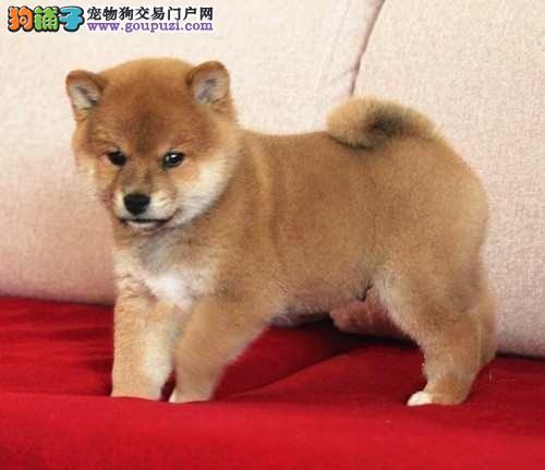 国际注册犬舍 出售极品赛级柴犬幼犬微信咨询看狗狗照片