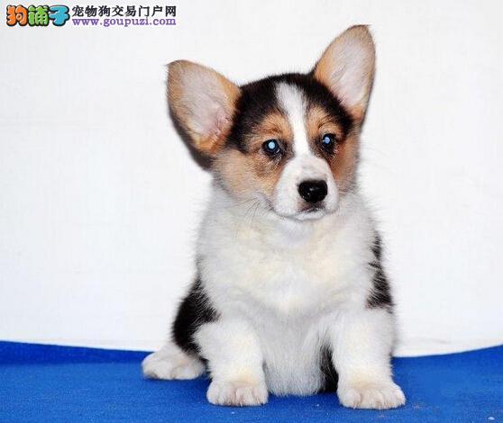 高端柯基幼犬,CKU认证保健康,三年质保协议