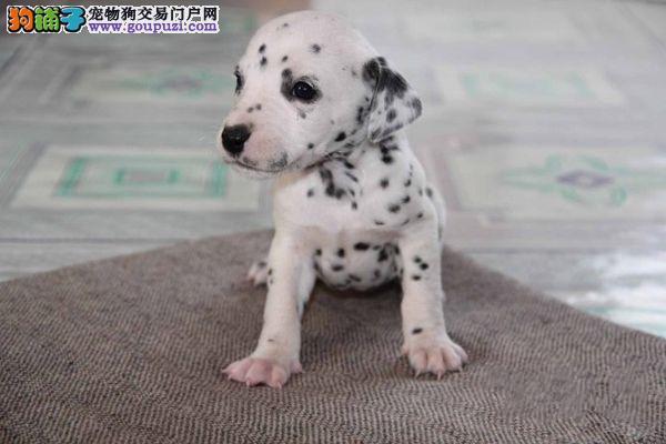 出售纯种大麦町幼犬 可爱斑点宝宝