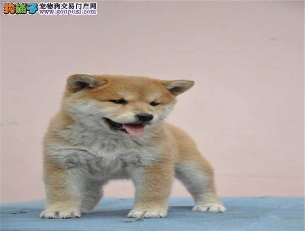 济宁最大犬舍出售多种颜色柴犬保障品质一流专业售后