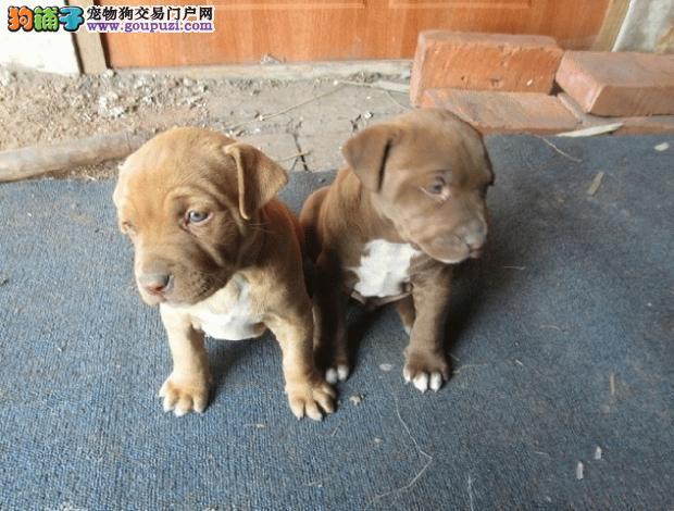 自家狗场繁殖直销比特犬幼犬保证品质完美售后