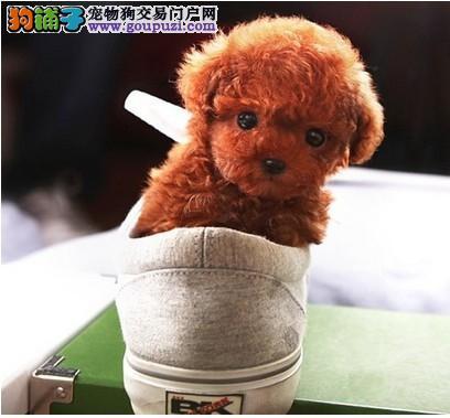 纯玩具茶杯泰迪幼犬多只个种颜色都有 健康的很