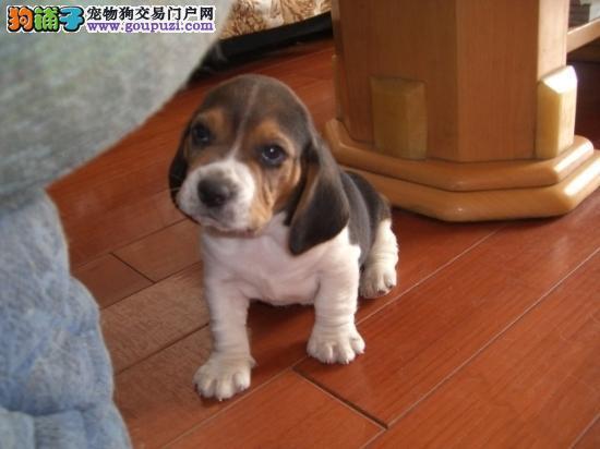 出售高品质比格犬,保证血统纯度,签订正规合同