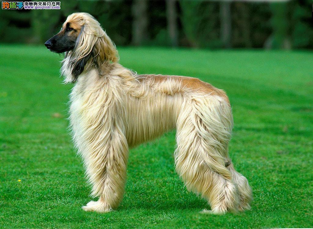 顶级优秀的纯种阿富汗猎犬热销中提供护养指导