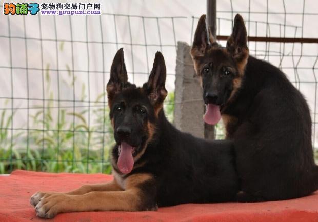 贵族纯正狼狗、全程实拍直接视频、提供养护指导