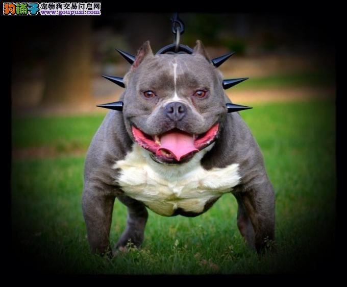 玉溪市出售美国恶霸犬 全国包邮 可视频看狗 售后保障