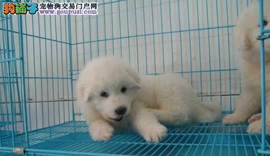 百色大白熊犬出售、大白熊买卖, 上门购买.发货.送货