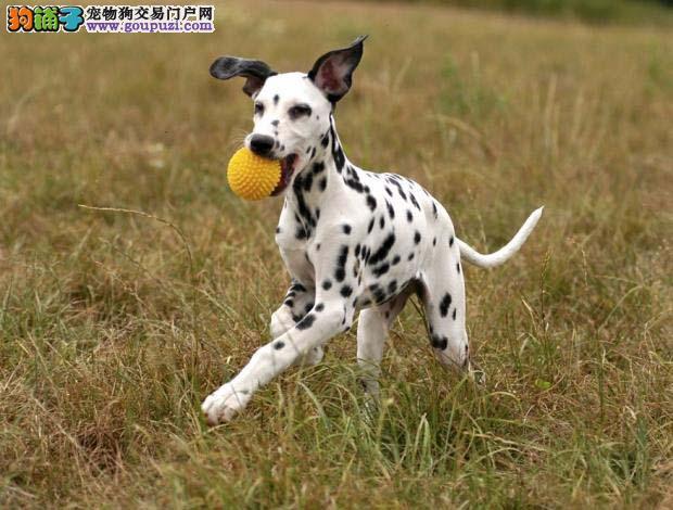 极品纯正的长沙斑点狗幼犬热销中喜欢微信咨询