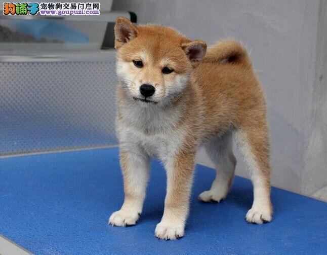 CKU认证犬舍 专业出售极品 柴犬幼犬终身售后保障