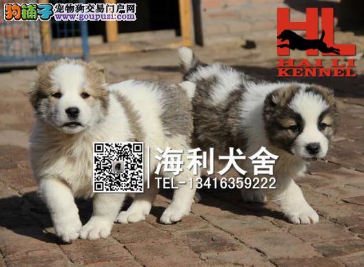 纯种大体型中亚牧羊犬 大骨架中亚出售中 包品相健康