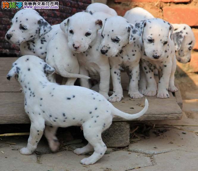 出售斑点狗幼犬保健康可上门