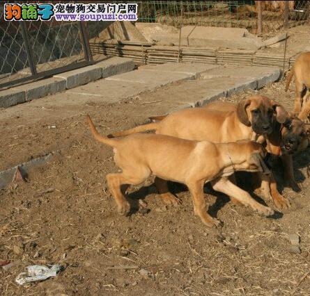 吐鲁番本地出售高品质大丹犬宝宝质保协议疫苗驱虫齐全