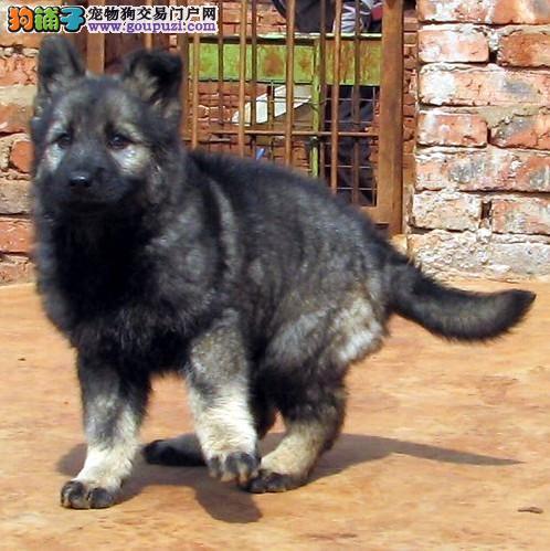 温州实体店低价促销赛级昆明犬幼犬质量三包多窝可选