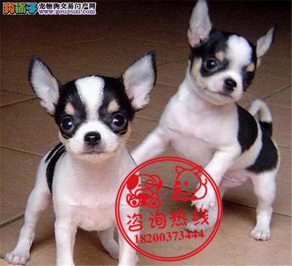 成都专业狗场繁殖、纯种吉娃娃犬、签订质保协议送用品
