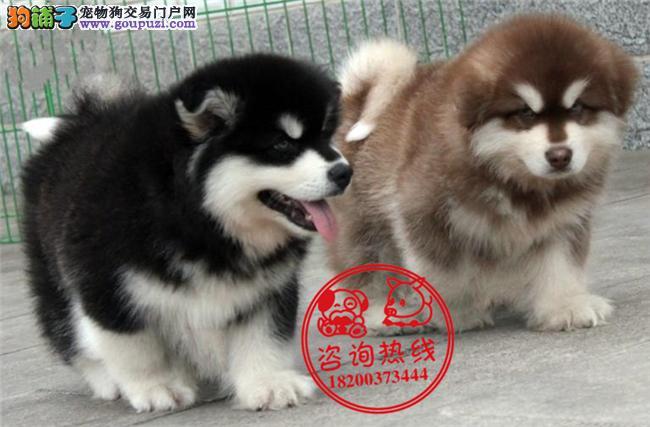 成都专业狗场繁殖、纯种阿拉斯加雪橇犬、签订质保协议
