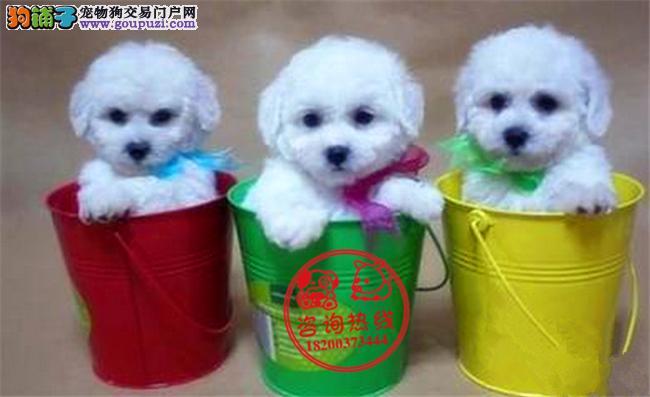 成都专业狗场繁殖、纯种茶杯犬、签订质保协议送用品