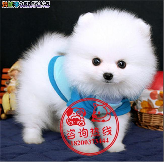 成都专业狗场繁殖、纯种博美犬、签订质保协议、送用品