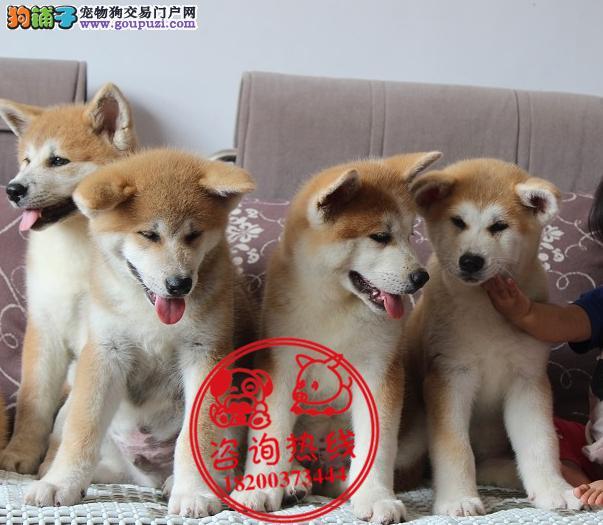 成都专业狗场繁殖、纯种秋田犬、签协议包纯种健康