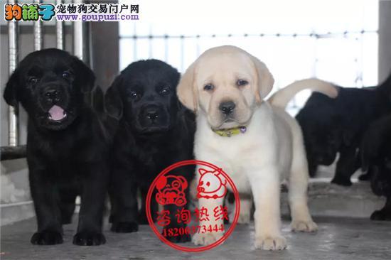 成都专业狗场繁殖、纯种拉布拉多犬、签协议送狗狗用品