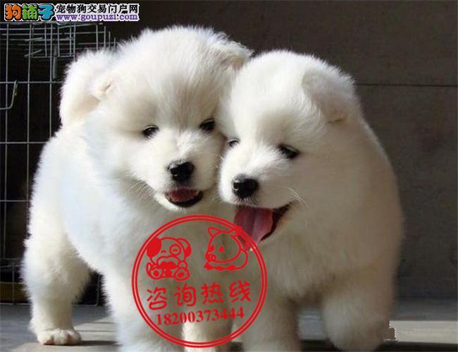 成都专业狗场繁殖、纯种萨摩耶犬、签订质保协议送用品