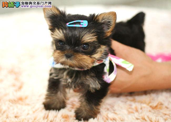 宠物狗低价出售 广州边度有狗卖 纯种约克夏多少钱
