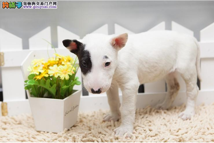 深圳哪里买狗 深圳哪里买纯种牛头梗 找广东南官狗场