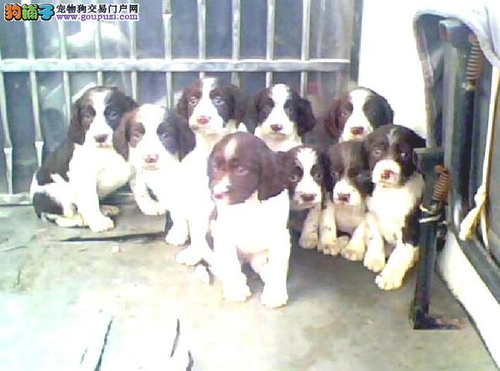 云南昆明买狗不要到市场买狗场史宾格纯种健康好养