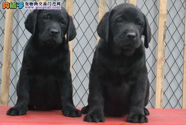 成都繁殖出售纯种赛级宠物级拉布拉多幼犬