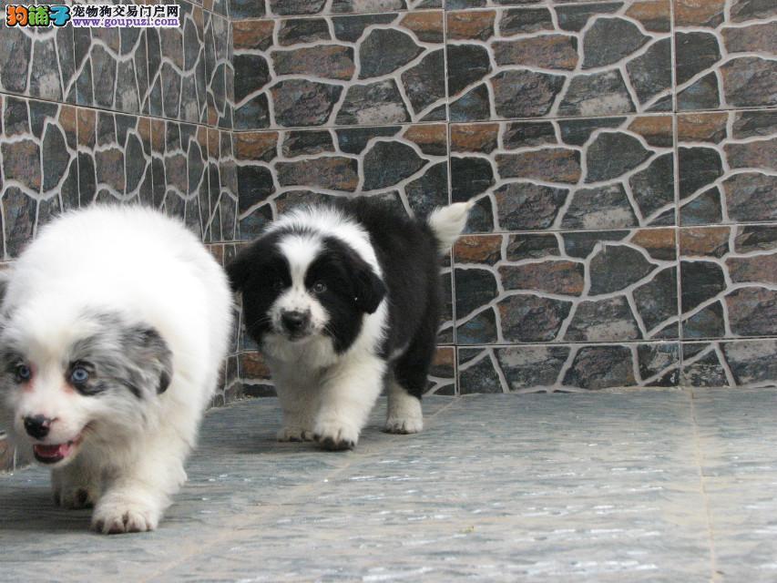 成都专业繁殖纯种赛级宠物级边牧幼犬