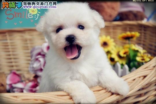 至营业店_犬业实体特价优惠 _萌宠系列比熊幼犬