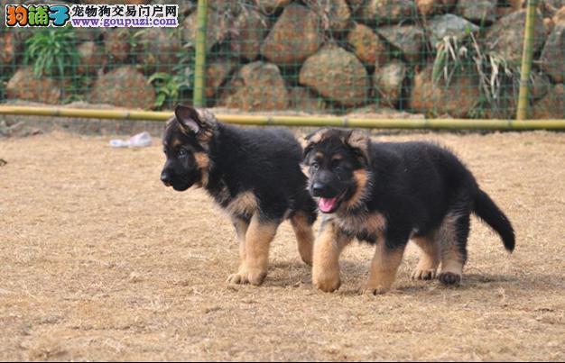 纯种德国牧羊犬,公母多只可选,包健康,有意者联系
