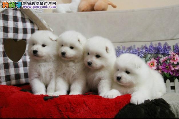 〃精品澳版美版萨摩耶犬、微笑天使、让你爱不释手〃