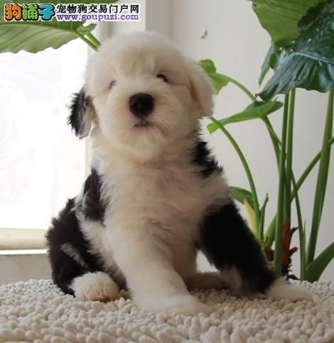 认证犬业 低价出售白头齐肩高品质古牧幼犬