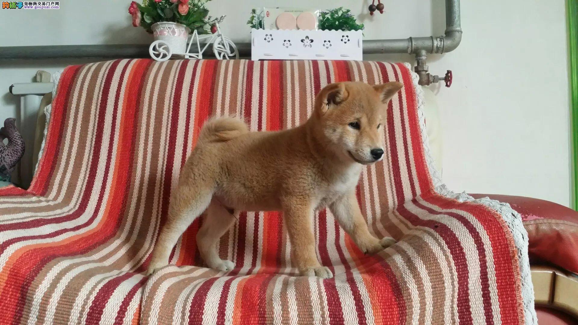 柴犬 健康质保签订协议 可看狗父母 可送货可发货