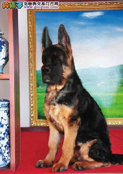 权威机构认证犬舍 专业培育狼狗幼犬价格美丽品质优良