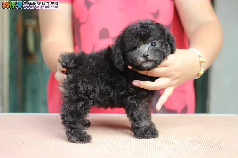 国外引进纯茶杯犬,专业繁殖血统纯正,签订终身合同
