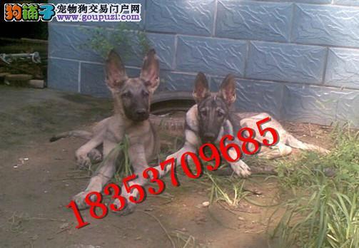 马犬幼犬价格,红马犬多少钱一只