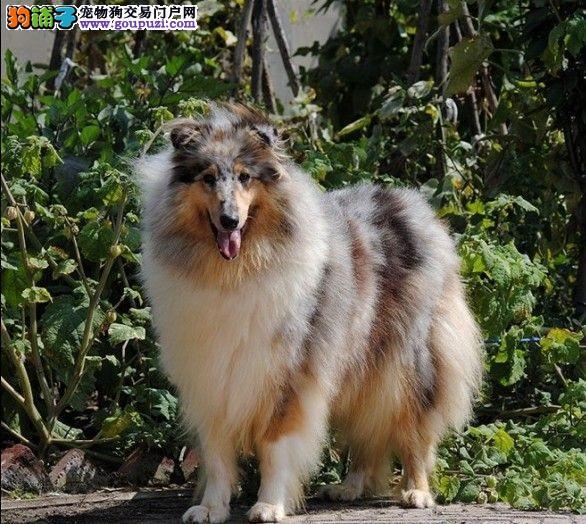 出售纯种苏格兰牧羊犬,实物拍摄可签订协议保健康