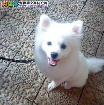 日本尖嘴银狐幼犬出售