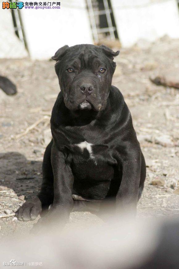 超级种公卡洛斯后代 卡斯罗幼犬丨超级种公对外借配