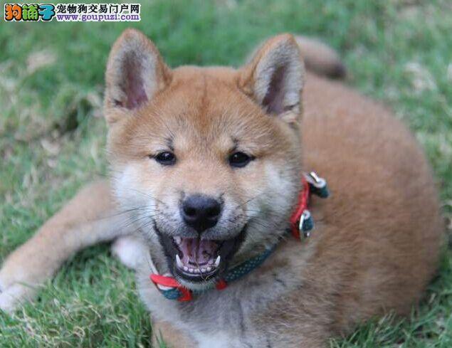 赛级柴犬宝宝,纯种健康品相优良,签订正规合同