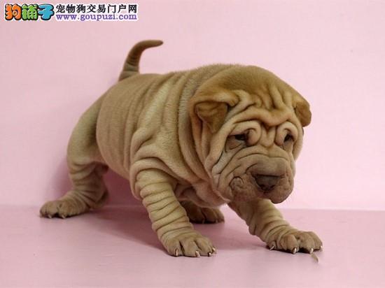 出售正宗血统优秀的天津沙皮狗请您放心选购
