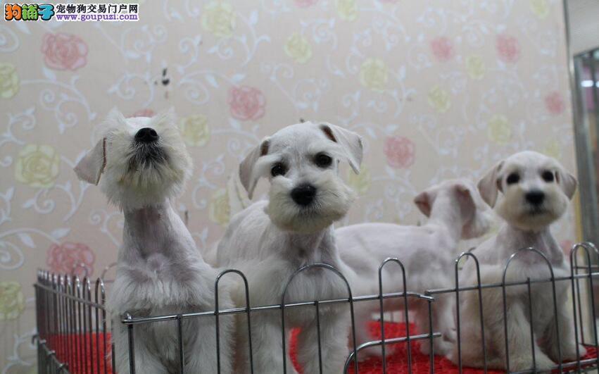 重庆专业诚信犬舍出售雪纳瑞 协议证书齐全