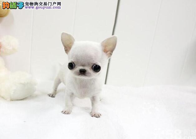 重庆本地诚信犬舍。赛级吉娃娃证书协议芯片齐