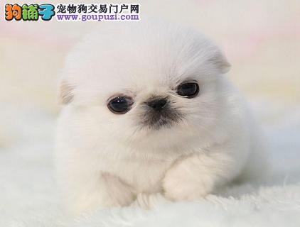 京巴正规犬舍繁殖、诚信交易、纯种京巴犬、可签协议