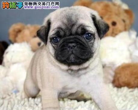 出售多只优秀的巴哥犬可上门终身售后送货
